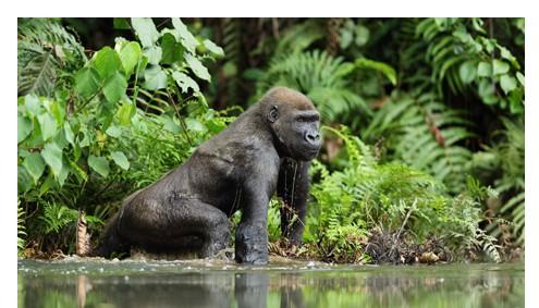 Gorilla Spezial
