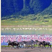 Ngorongoro Krater Zebras