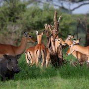 Impalas im Tarangire Nationalparl