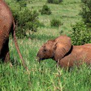 Elefanten Tarangire Nationalparl