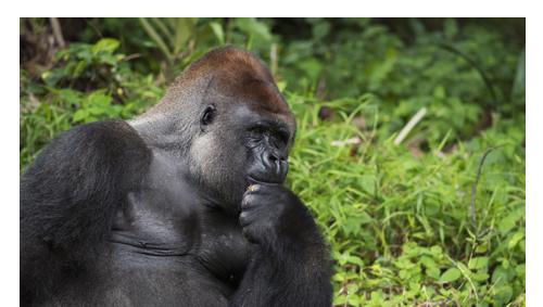 Uganda Gorilla Intensive Afromaxx