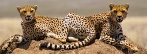 Big Five auf Safaris in Tansania beobachten