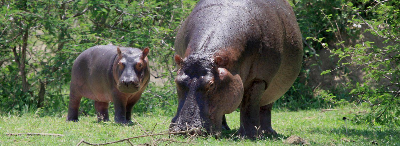 Gorilla Trekking mit Safari