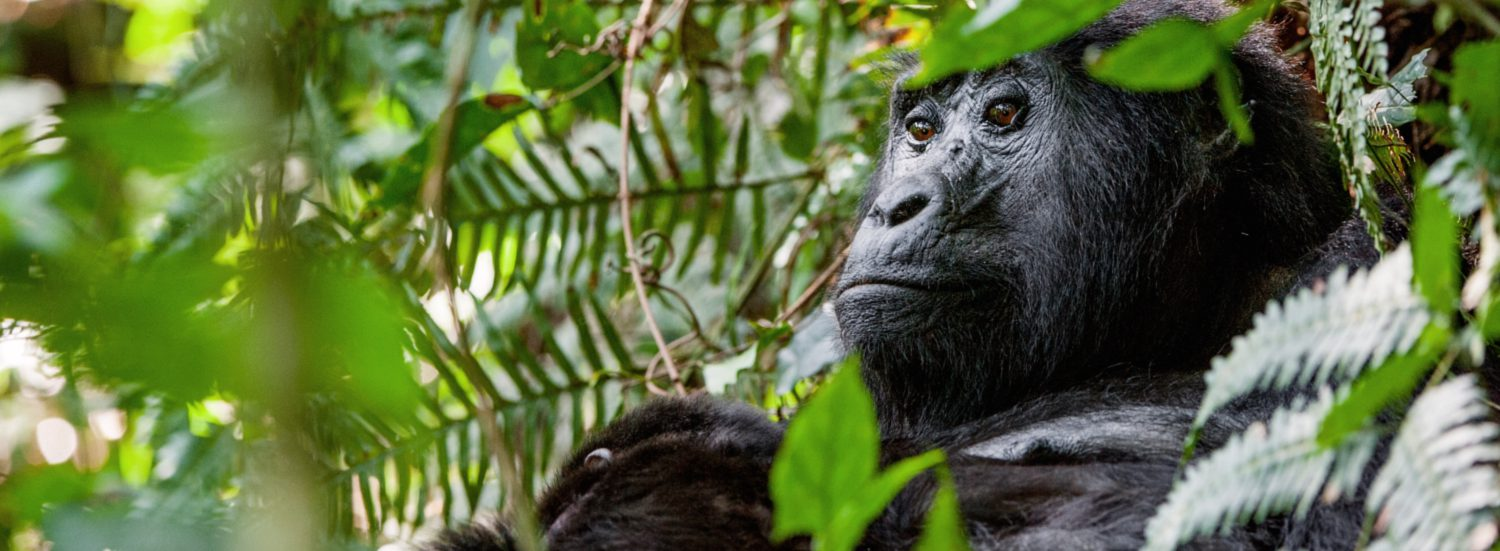 Gorilla Trekking in Bwindi Impenetrable