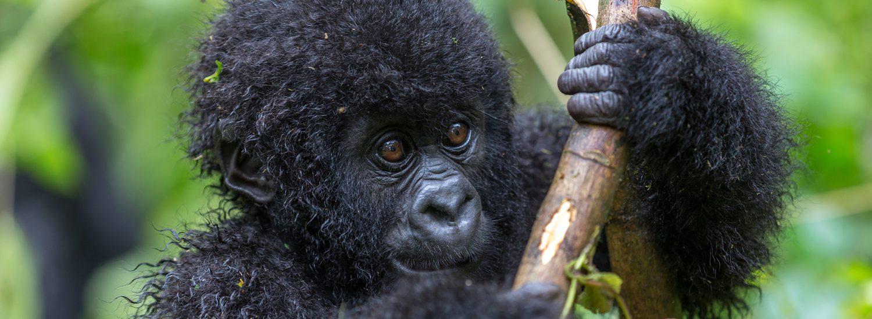 Besuchen Sie die Gorillas