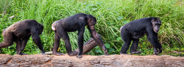 Reise nach Uganda mit Schimpansen