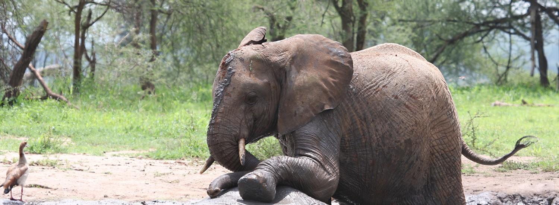 schlammbedeckter Elefant auf Tansania Safari