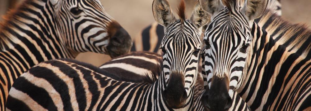 kurze Tansania Safari