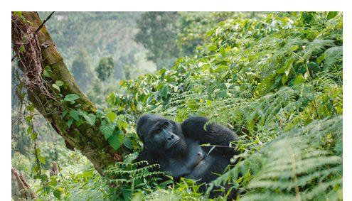 Welche Dinge muss ich beim Gorilla Trekking beachten?