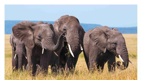 Elefanten brauchen Korridore