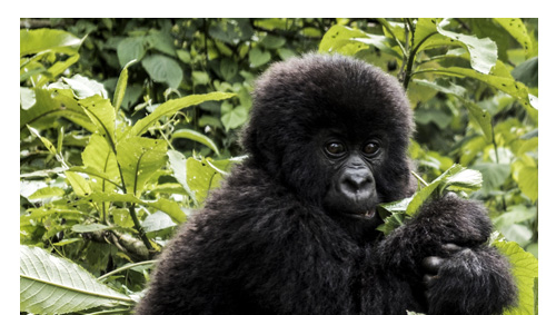 one hour with the mountain Gorillas