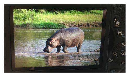 Ugandareise: Einsame Flusspferd