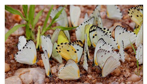 Schmetterlinge Ishasha