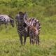 Welche Tiere kann man auf Safaris beobachten?