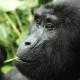 Berggorillas besuchen