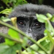 Wann ist die beste Jahreszeit für Gorilla Tracking?