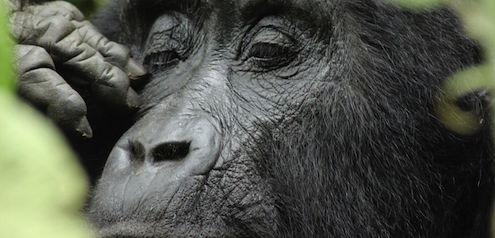 Wo leben Gorillas in ihrem natürlichen Lebensraum?
