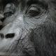 Gorillas - Wo leben sie?