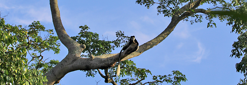 Luxus Safari durch Uganda - Colobus-Affen