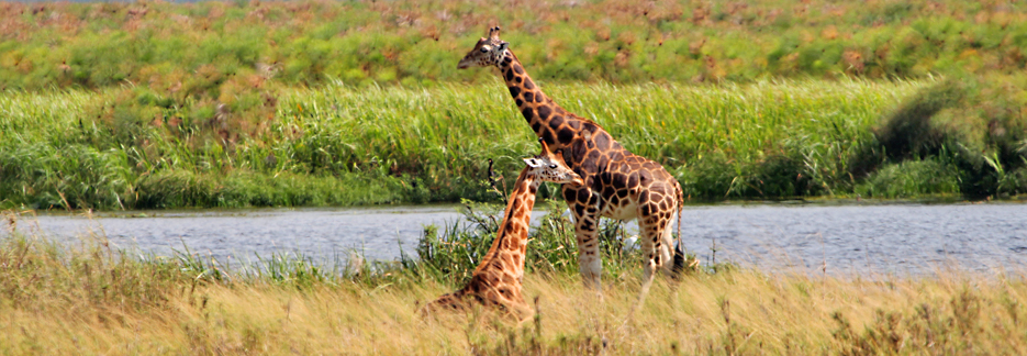 Luxus Safari durch Uganda - Giraffen