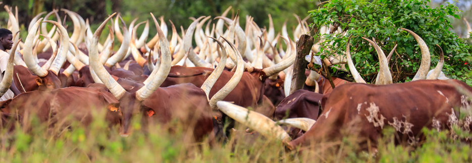 Luxus Safari durch Uganda - Ankole Rinder