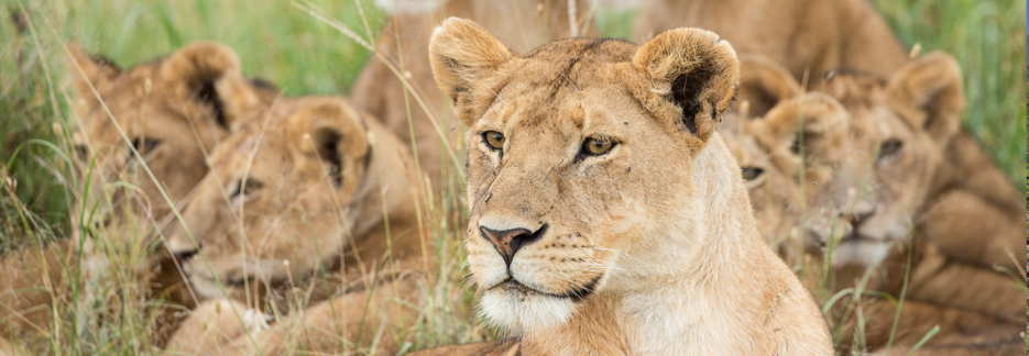 Nord-Tansania-Reise Löwen beobachten